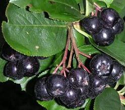 Черноплодная рябина содержит йод и витамин Р