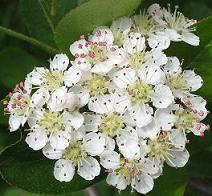 Арония черноплодная - очень красивое декоративное растение