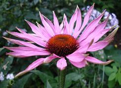 Цветок пурпурной эхинацеи