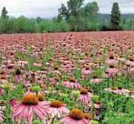 Эхинацея пурпурная - ценное лекарственное растение