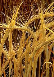 Ячмень является одним из самых древних злаков