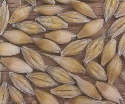 Уникальный химический состав ячменного зерна делает его незаменимым диетическим продуктом
