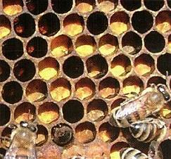Перга является самым важным продуктом в питании пчел