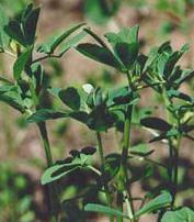 Шамбала или пажитник является ценнейшим растением